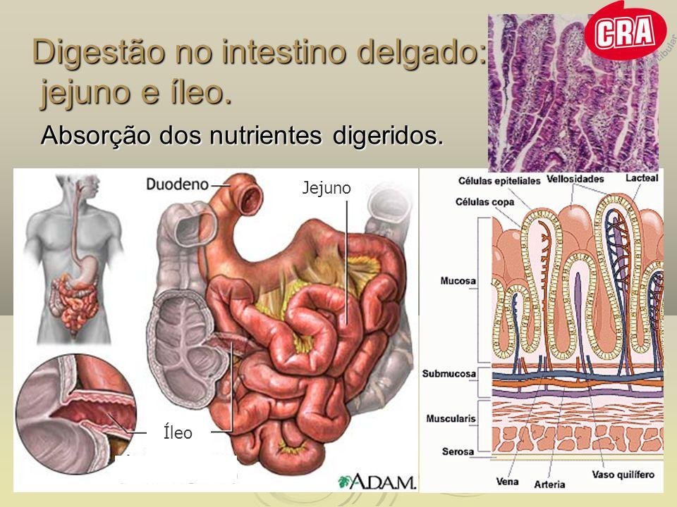 Digestão no intestino delgado: jejuno e íleo. Absorção dos nutrientes digeridos. Jejuno Íleo
