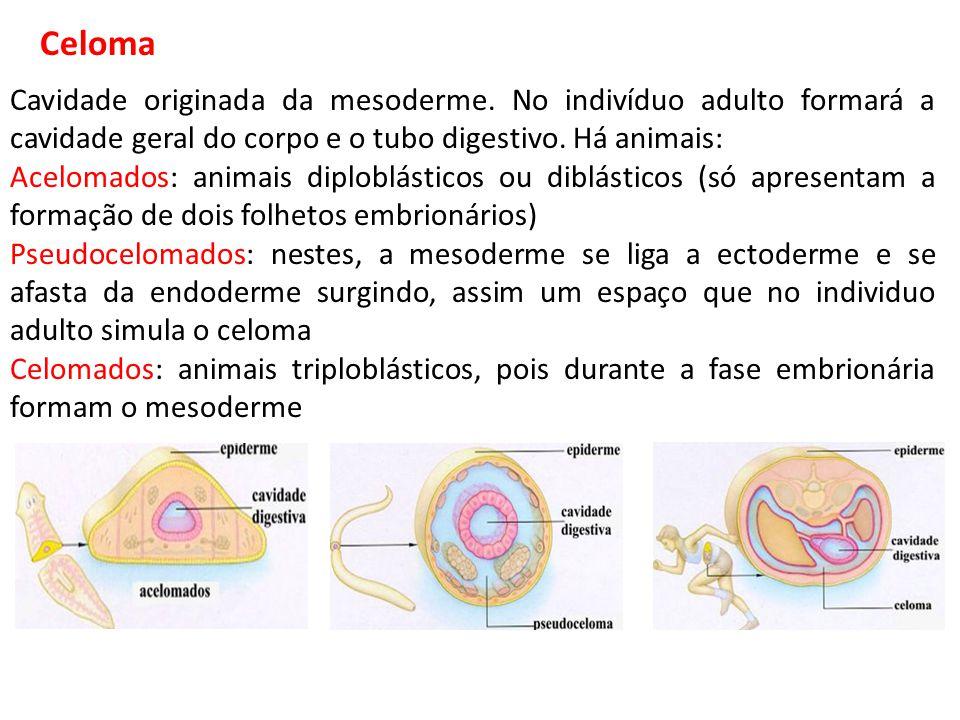 Cavidade originada da mesoderme. No indivíduo adulto formará a cavidade geral do corpo e o tubo digestivo. Há animais: Acelomados: animais diploblásti