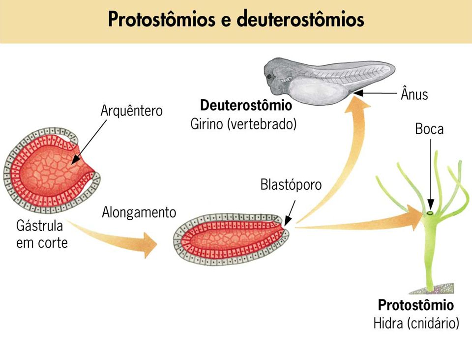 PORIFERO Eucarionte; pluricelular; heterótrofo; aquáticos; sésseis.