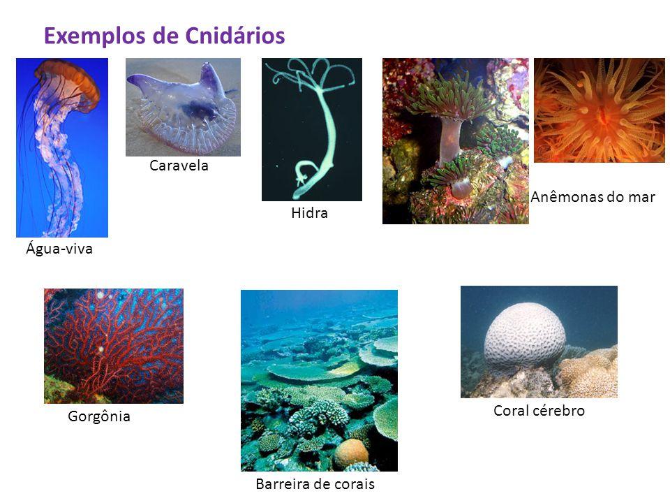 Exemplos de Cnidários Água-viva Caravela Hidra Anêmonas do mar Gorgônia Barreira de corais Coral cérebro