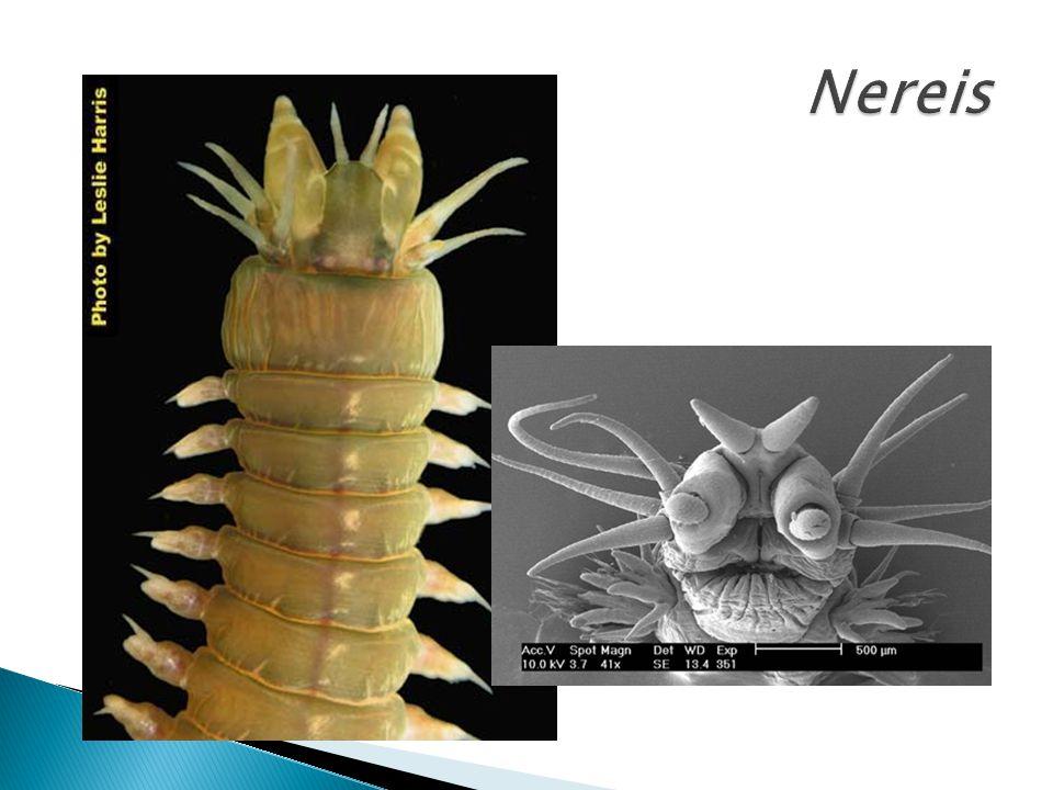 ◦ Vermes marinhos ◦ Respiração branquial ◦ Nereis