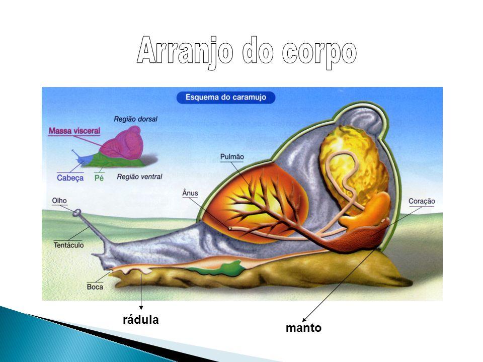  Corpo segmentado – anéis;  Minhocas, sanguessugas, Nereis etc;  Tubo digestório completo;  Circulação fechada;  Respiração: cutânea ou branquial  Gânglios cerebrais  Monoicos (hermafroditas) ou dioicos.