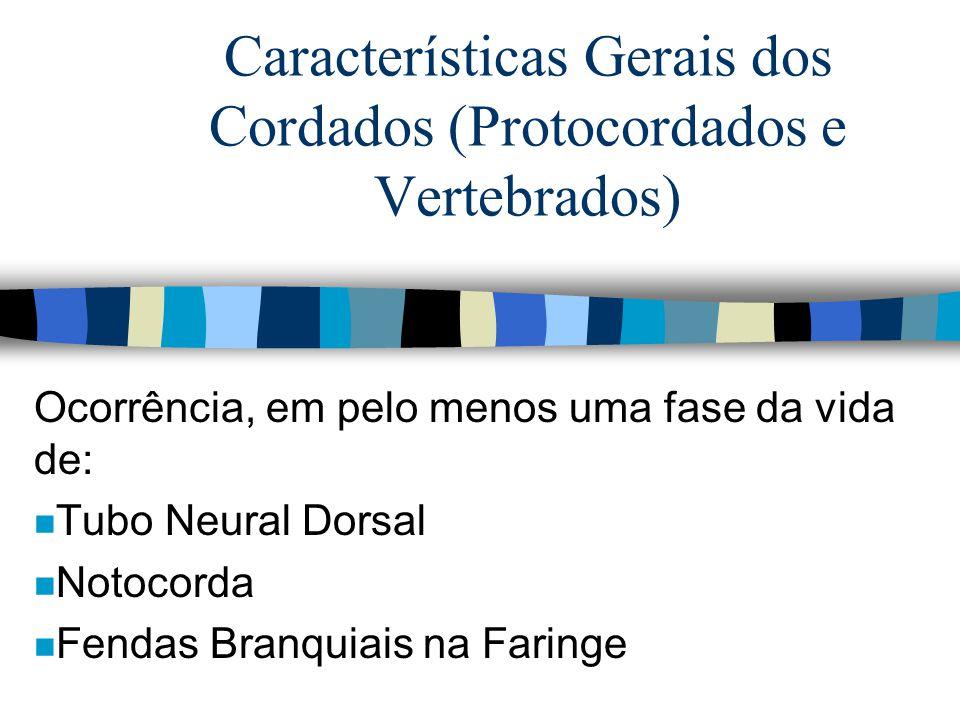 Características Gerais dos Cordados (Protocordados e Vertebrados) Ocorrência, em pelo menos uma fase da vida de: n Tubo Neural Dorsal n Notocorda n Fe