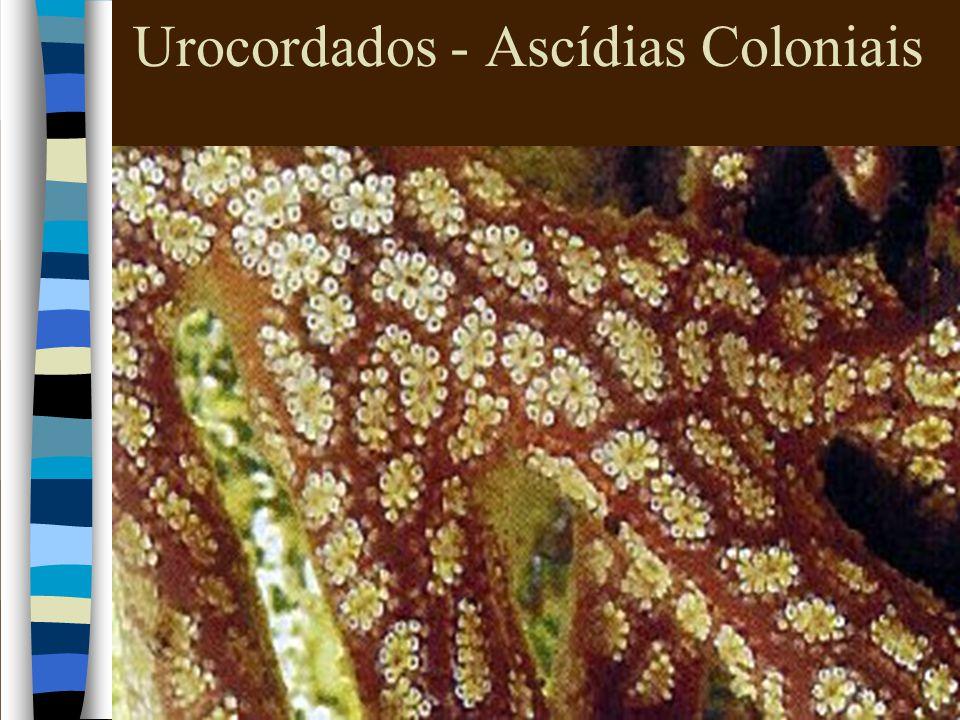 Urocordados - Ascídias Coloniais