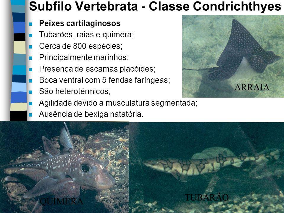Subfilo Vertebrata - Classe Condrichthyes n Peixes cartilaginosos n Tubarões, raias e quimera; n Cerca de 800 espécies; n Principalmente marinhos; n P