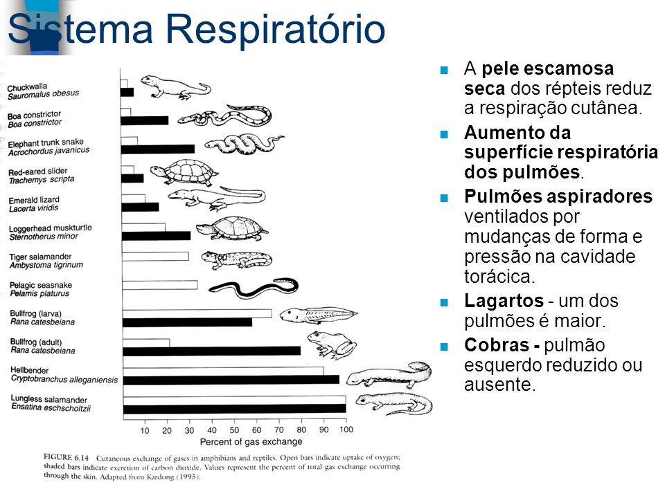 Sistema Respiratório n A pele escamosa seca dos répteis reduz a respiração cutânea. n Aumento da superfície respiratória dos pulmões. n Pulmões aspira