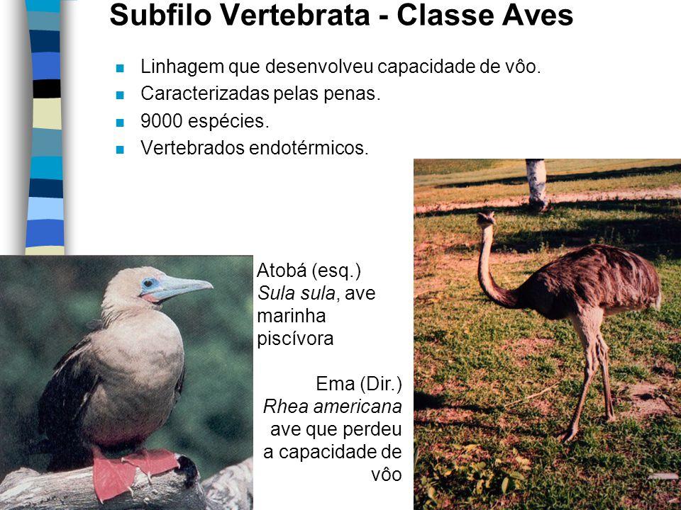 Subfilo Vertebrata - Classe Aves n Linhagem que desenvolveu capacidade de vôo. n Caracterizadas pelas penas. n 9000 espécies. n Vertebrados endotérmic