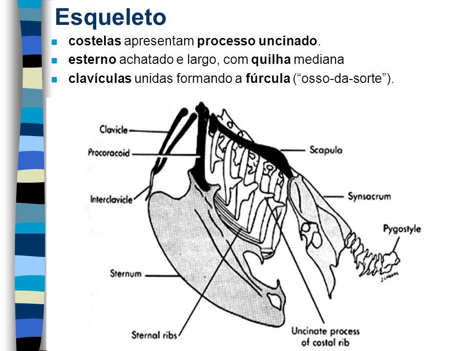 """Esqueleto n costelas apresentam processo uncinado. n esterno achatado e largo, com quilha mediana n clavículas unidas formando a fúrcula (""""osso-da-sor"""