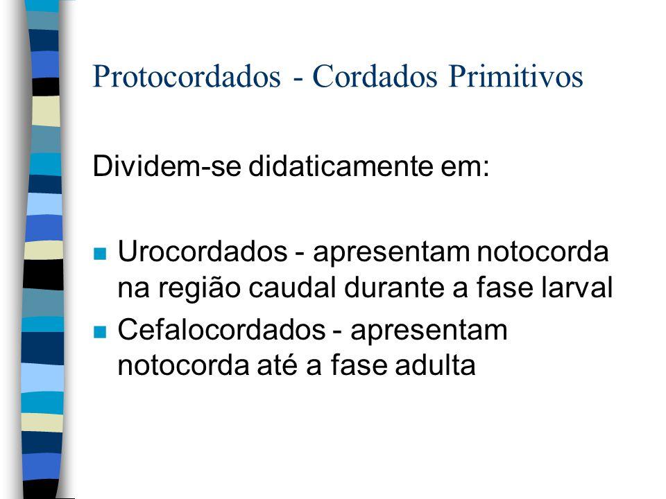 Protocordados - Cordados Primitivos Dividem-se didaticamente em: n Urocordados - apresentam notocorda na região caudal durante a fase larval n Cefaloc