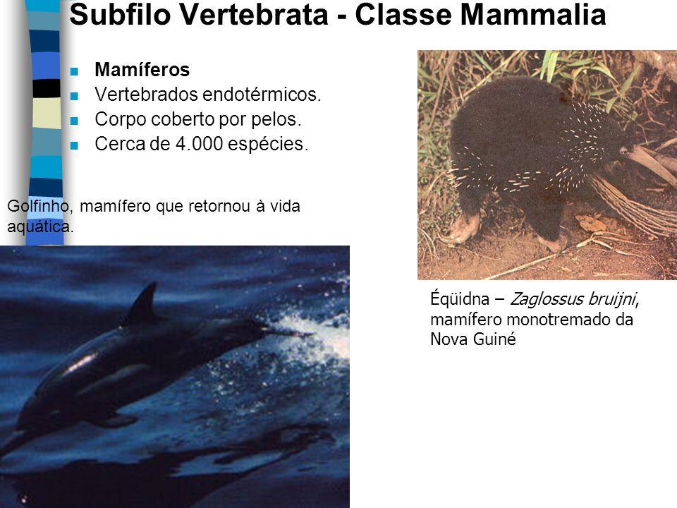 Subfilo Vertebrata - Classe Mammalia n Mamíferos n Vertebrados endotérmicos. n Corpo coberto por pelos. n Cerca de 4.000 espécies. Éqüidna – Zaglossus