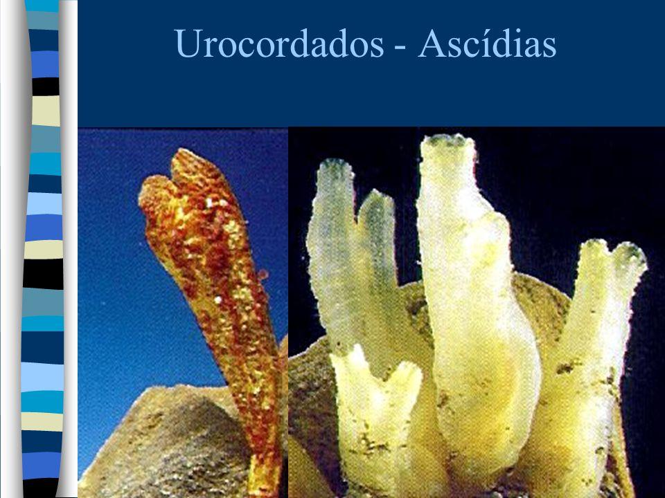 Urocordados - Ascídias