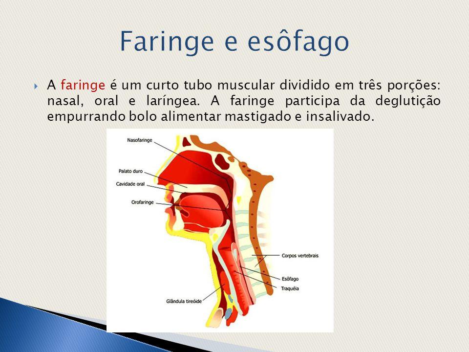  A faringe é um curto tubo muscular dividido em três porções: nasal, oral e laríngea. A faringe participa da deglutição empurrando bolo alimentar mas