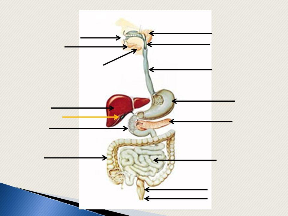 Órgãos do sistema digestório: -boca -faringe -esôfago -estômago -intestino delgado -intestino grosso -Reto -ânus.