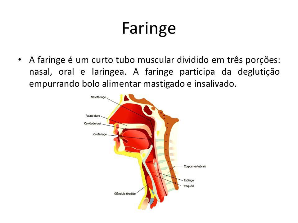 Faringe A faringe é um curto tubo muscular dividido em três porções: nasal, oral e laringea. A faringe participa da deglutição empurrando bolo aliment