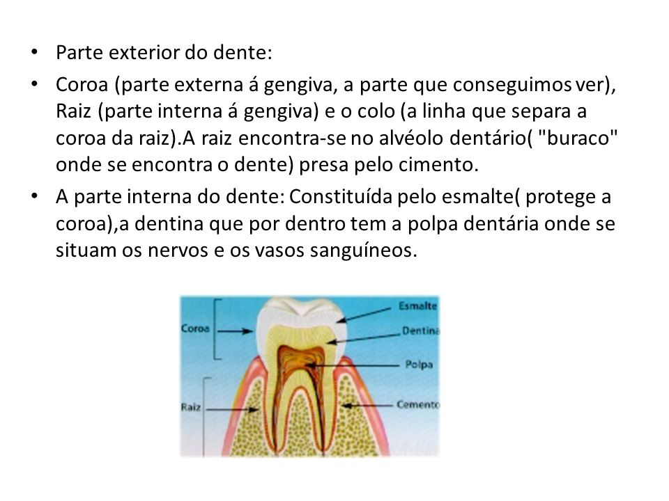 Parte exterior do dente: Coroa (parte externa á gengiva, a parte que conseguimos ver), Raiz (parte interna á gengiva) e o colo (a linha que separa a c