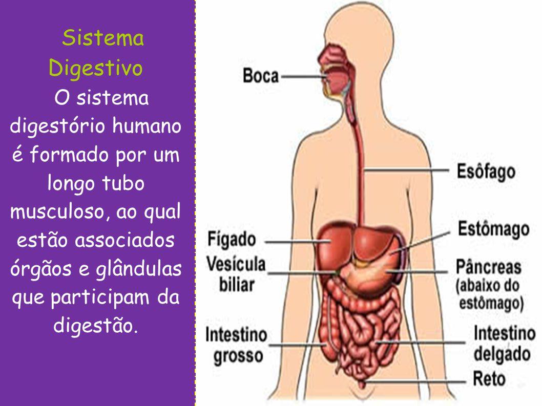 Sistema Digestivo O sistema digestório humano é formado por um longo tubo musculoso, ao qual estão associados órgãos e glândulas que participam da dig