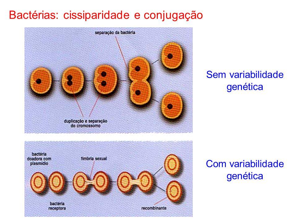 Bactérias: cissiparidade e conjugação Sem variabilidade genética Com variabilidade genética