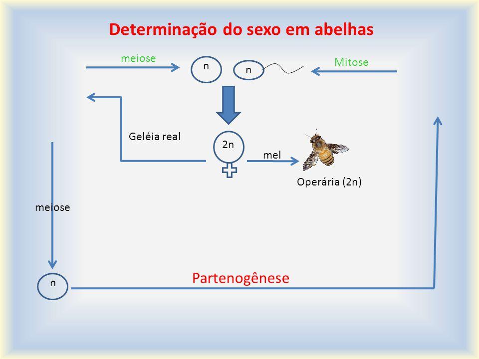 Determinação do sexo em abelhas Rainha (2n) n (n) n Mitose 2n Geléia real mel Operária (2n) meiose n Partenogênese