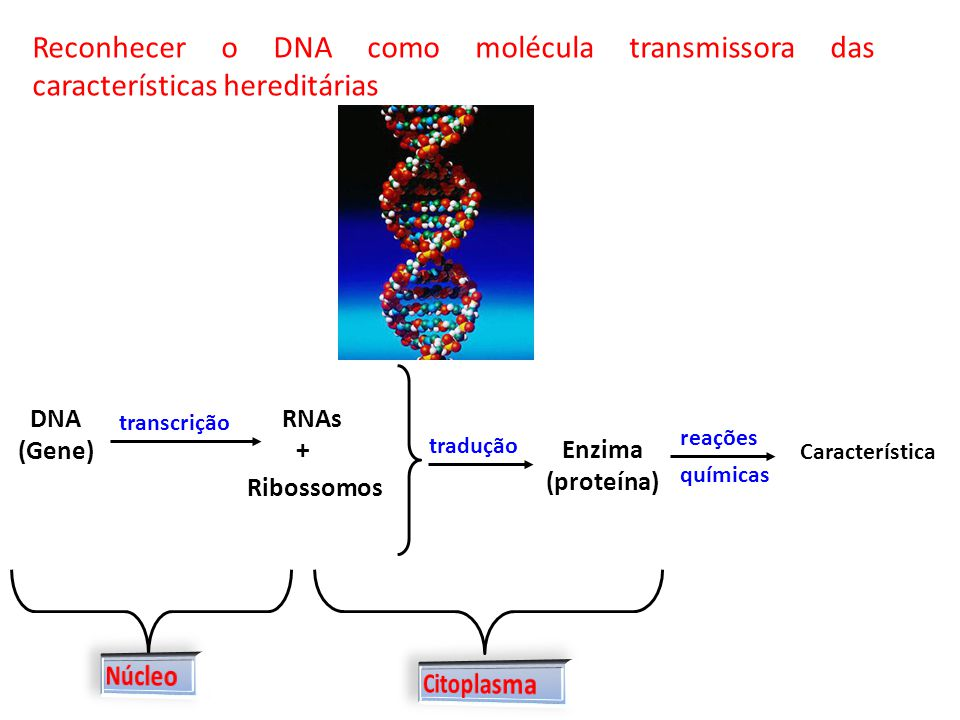 Reconhecer o DNA como molécula transmissora das características hereditárias DNA (Gene) transcrição RNAs + Ribossomos tradução Enzima (proteína) reaçõ