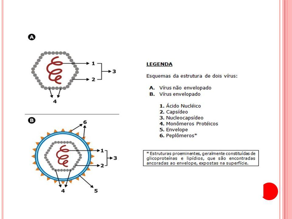 C OMPONENTES MOLECULARES Possui envoltório formado por três polipeptídeos estruturais, sendo dois glicosilados.