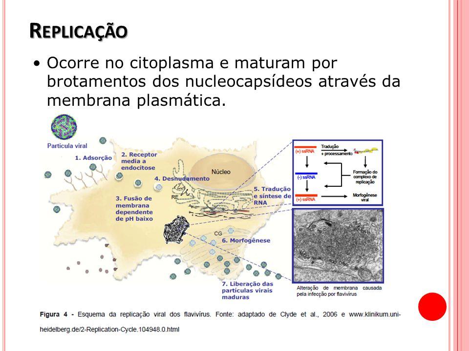R EPLICAÇÃO Ocorre no citoplasma e maturam por brotamentos dos nucleocapsídeos através da membrana plasmática.