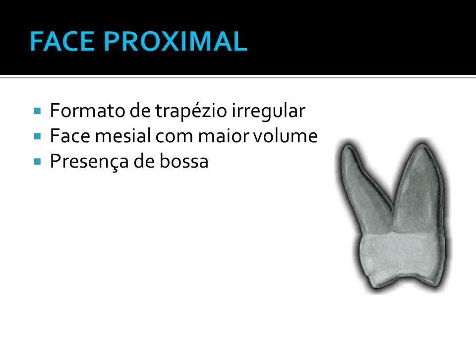  Formato de trapézio irregular  Face mesial com maior volume  Presença de bossa