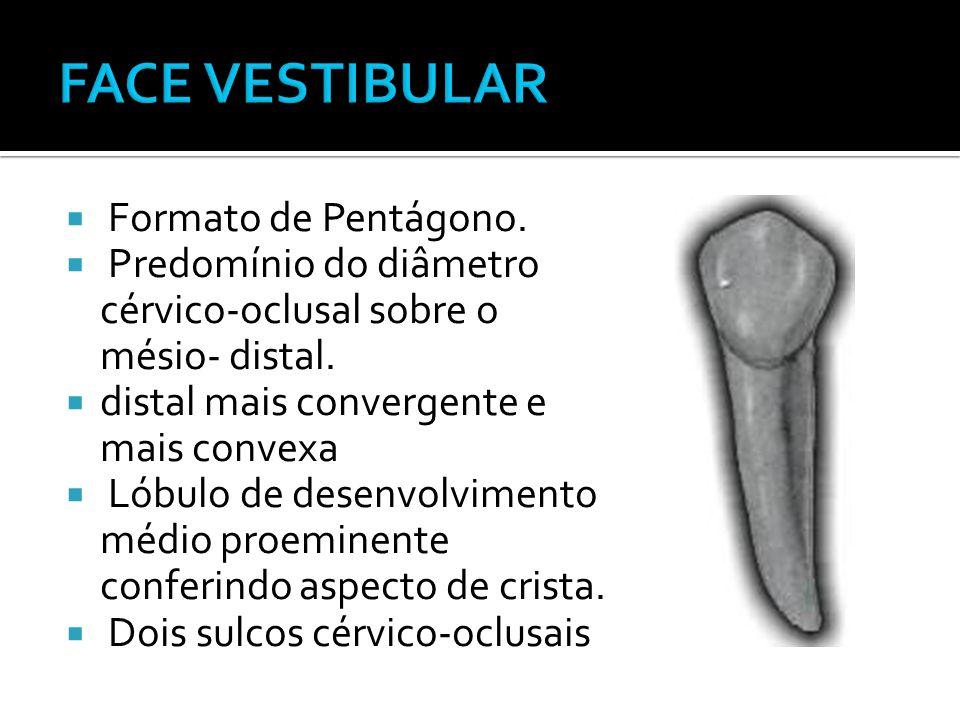  Formato de Pentágono.  Predomínio do diâmetro cérvico-oclusal sobre o mésio- distal.  distal mais convergente e mais convexa  Lóbulo de desenvolv