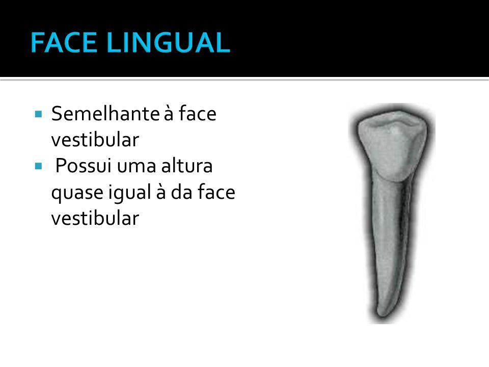  Semelhante à face vestibular  Possui uma altura quase igual à da face vestibular