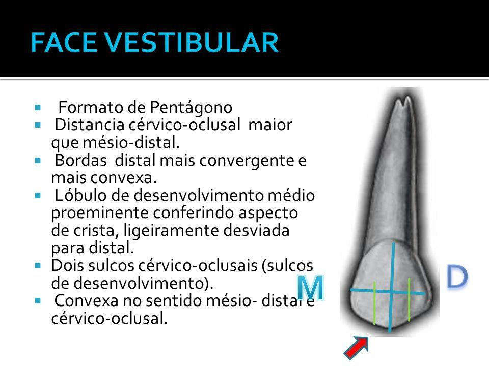  Formato de Pentágono  Distancia cérvico-oclusal maior que mésio-distal.  Bordas distal mais convergente e mais convexa.  Lóbulo de desenvolviment