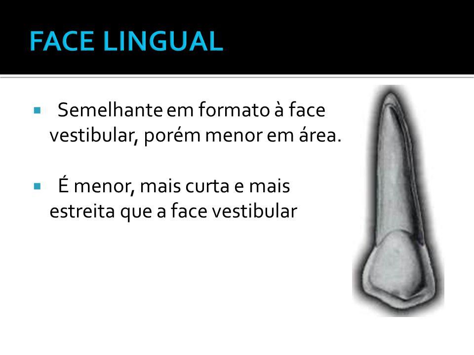  Semelhante em formato à face vestibular, porém menor em área.  É menor, mais curta e mais estreita que a face vestibular