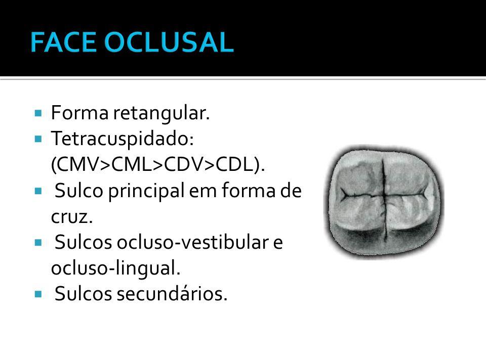  Forma retangular.  Tetracuspidado: (CMV>CML>CDV>CDL).  Sulco principal em forma de cruz.  Sulcos ocluso-vestibular e ocluso-lingual.  Sulcos sec