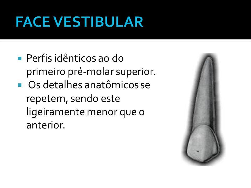  Perfis idênticos ao do primeiro pré-molar superior.  Os detalhes anatômicos se repetem, sendo este ligeiramente menor que o anterior.