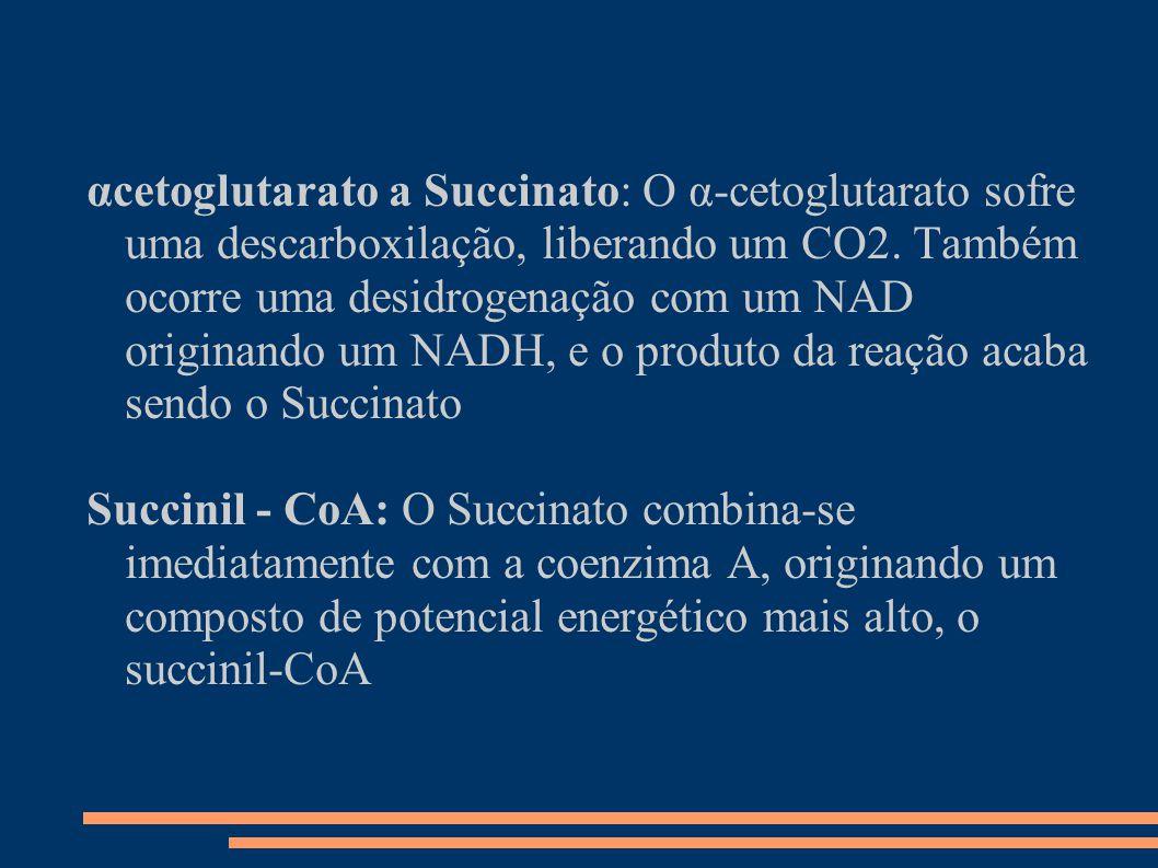 αcetoglutarato a Succinato: O α-cetoglutarato sofre uma descarboxilação, liberando um CO2. Também ocorre uma desidrogenação com um NAD originando um N