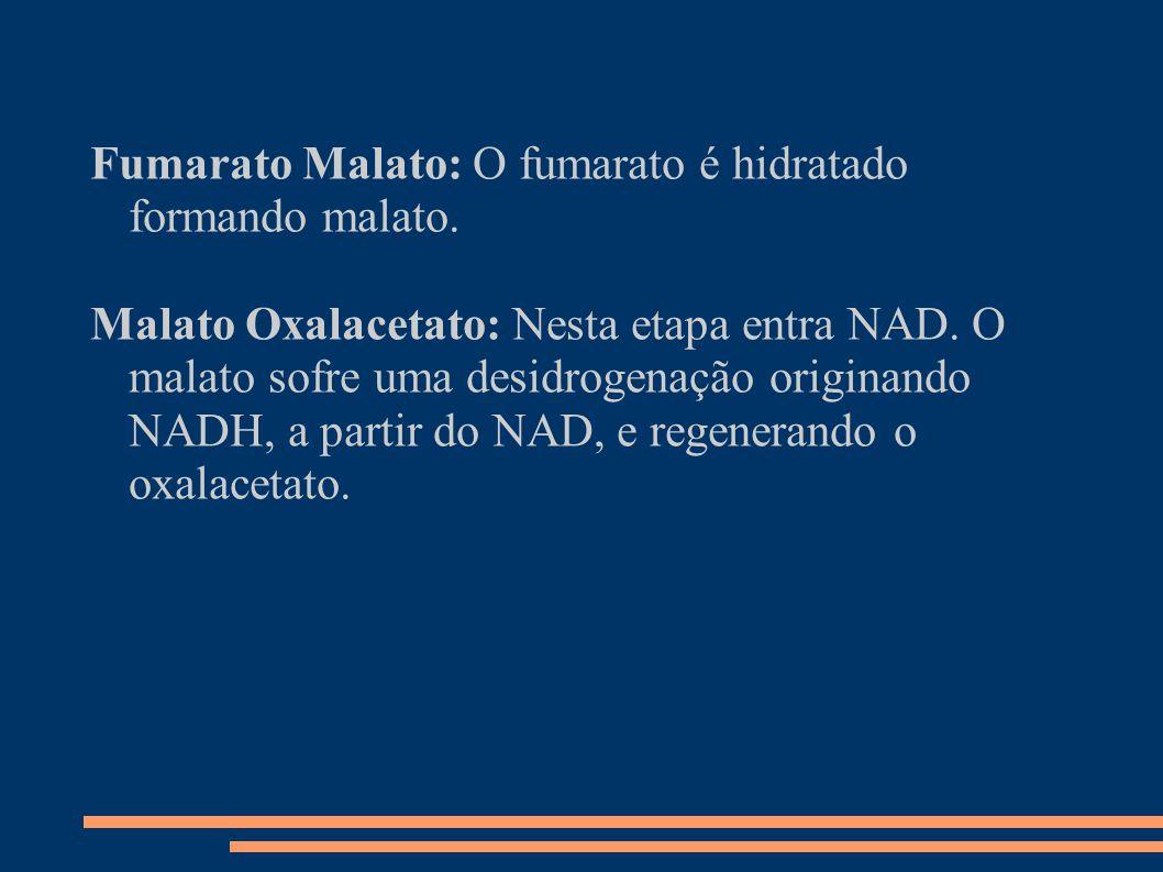Fumarato Malato: O fumarato é hidratado formando malato. Malato Oxalacetato: Nesta etapa entra NAD. O malato sofre uma desidrogenação originando NADH,