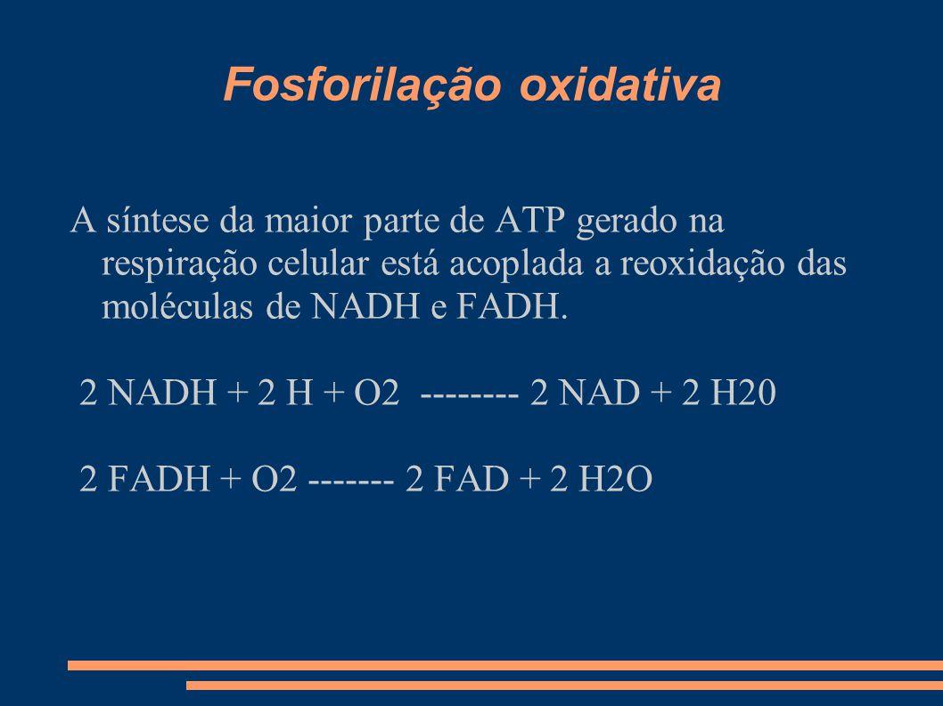 Fosforilação oxidativa A síntese da maior parte de ATP gerado na respiração celular está acoplada a reoxidação das moléculas de NADH e FADH. 2 NADH +