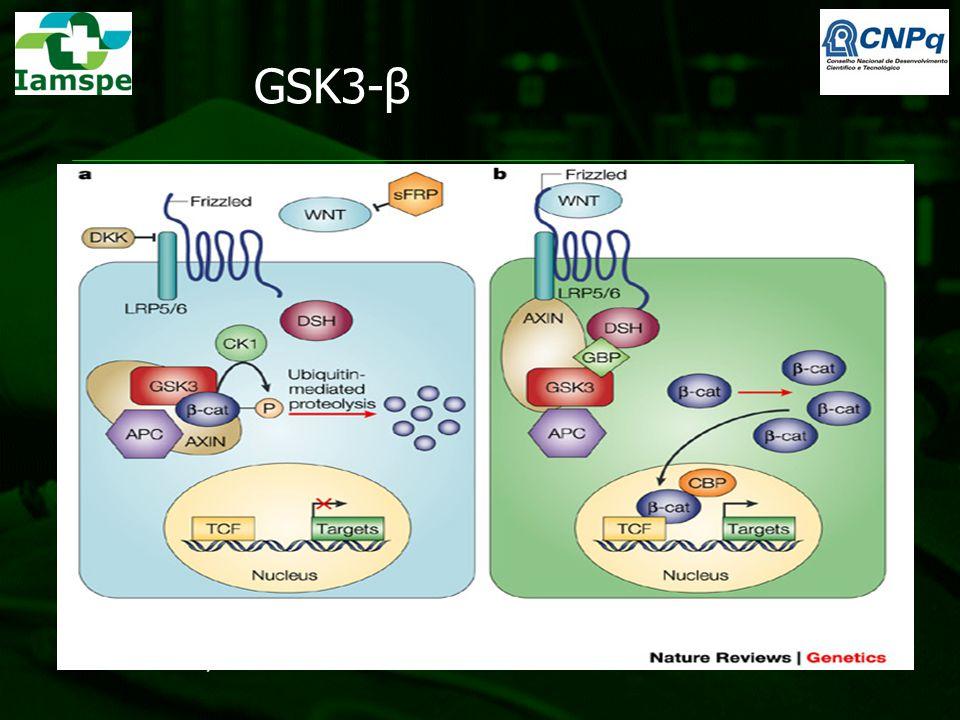 GSK3-β Teoria: 1- Fisiologicamente: atua como chave inibitória da via Wnt (Wnt/ β-catenina) por fosforilar a β-catenina marcando-a para degradação pro