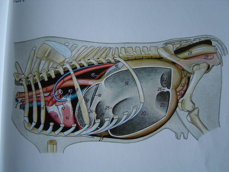 CICLOS DE ATIVIDADE MECÂNICA DO RUMEN E RETÍCULO  CICLO SECUNDÁRIO OU SEQUÊNCIA B  · Contração do saco cego caudal dorsal e ou ventral  · Contração do saco ruminal dorsal  · Contração do saco ruminal ventral.