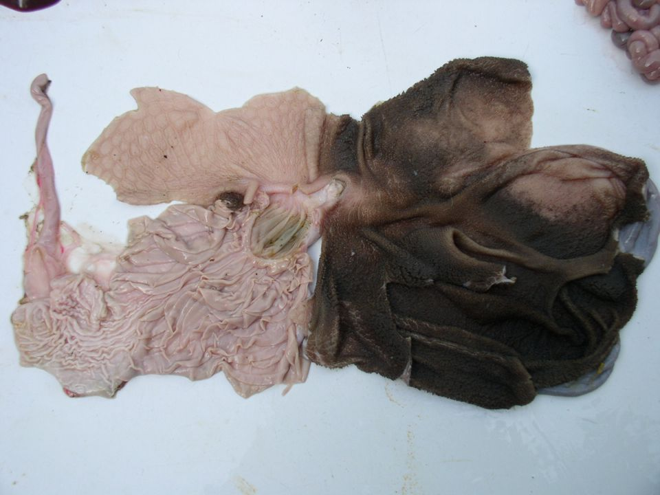  CANAL DO OMASO  CORPO DO OMASO  O conteúdo do canal do omaso é pressionado e passa ao interior do omaso.
