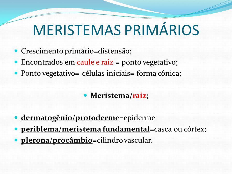 MERISTEMAS PRIMÁRIOS Crescimento primário=distensão; Encontrados em caule e raiz = ponto vegetativo; Ponto vegetativo= células iniciais= forma cônica; Meristema/raiz; dermatogênio/protoderme=epiderme periblema/meristema fundamental=casca ou córtex; plerona/procâmbio=cilindro vascular.