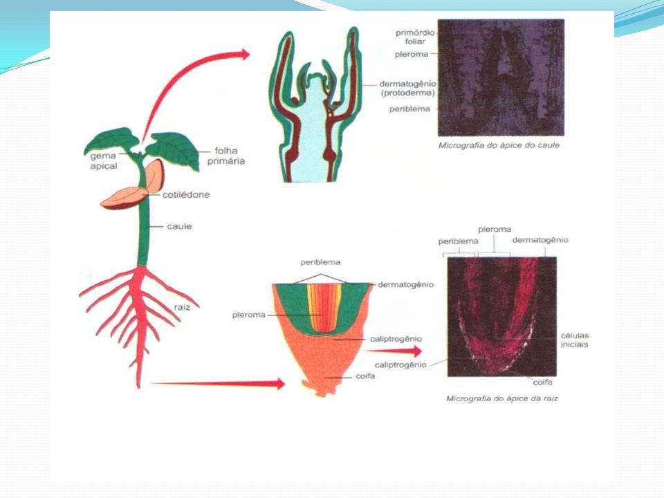 Raiz/caliptrinogênio que produz a coifa- estrutura em forma de capuz que protege a raiz; Células do ponto vegetativo caulinar formam primórdios foliares e gemas laterais : dermatogênio/protoderme=epiderme; pleribema/meristema fundamental=casca ou córtex e medula pleroma/procâmbio=tecido condução primário; Primórdios foliares= folhas adultas; Gemas=ramos caulinar ou florais;