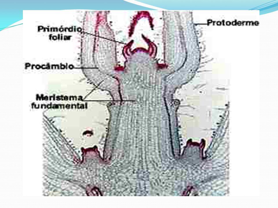 MERISTEMA SECUNDÁRIO Crescimento secundário: espessura; Chamados de meristemas laterais; Podemos citar: felogênio-casca do caule e da raiz- produz células para fora- cortiça ou súber- proteção; câmbio-cilindro central do caule e raiz - produz células para dentro( xilema secundário ) e para fora (floema secundário)= condução;