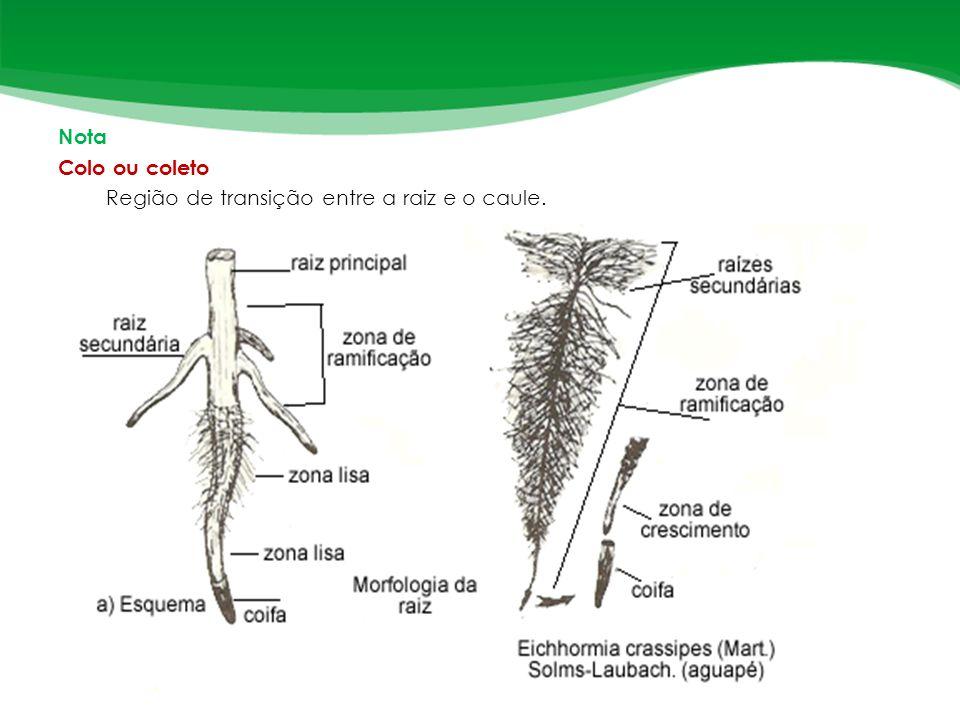 Nota Colo ou coleto Região de transição entre a raiz e o caule.