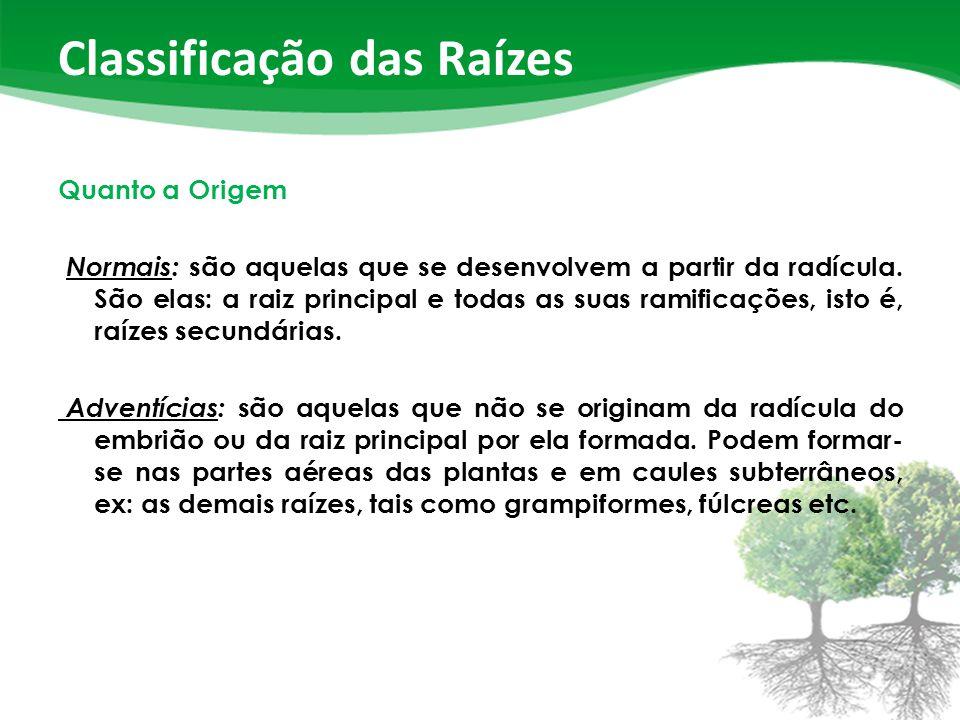 Classificação das Raízes Quanto a Origem Normais: são aquelas que se desenvolvem a partir da radícula.