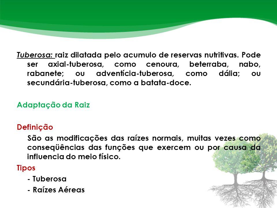 Tuberosa: raiz dilatada pelo acumulo de reservas nutritivas.
