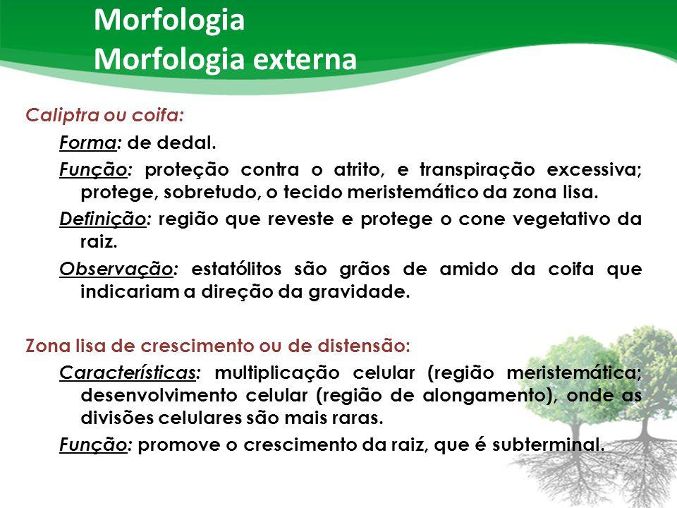 Morfologia Morfologia externa Caliptra ou coifa: Forma: de dedal.