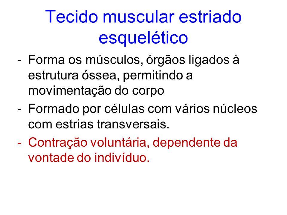 Tecido muscular estriado esquelético -Forma os músculos, órgãos ligados à estrutura óssea, permitindo a movimentação do corpo -Formado por células com vários núcleos com estrias transversais.
