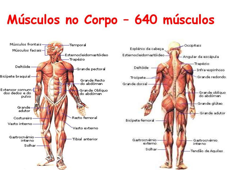 Músculos no Corpo – 640 músculos