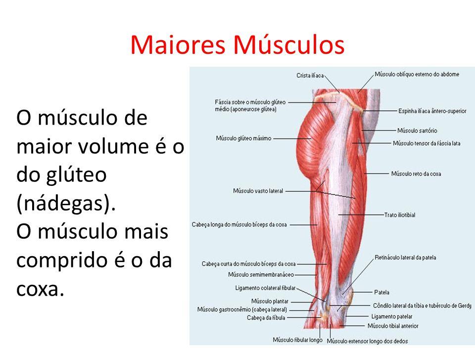 Maiores Músculos O músculo de maior volume é o do glúteo (nádegas). O músculo mais comprido é o da coxa.