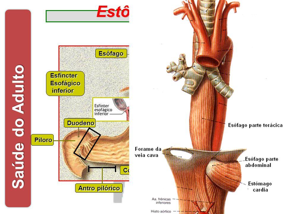 EstômagoDiafragma Esôfago Corpo do estômago EsfíncterEsofágico inferior inferior Antro pilórico Fundo do estômago Digestão de alimentos protéicos Acom