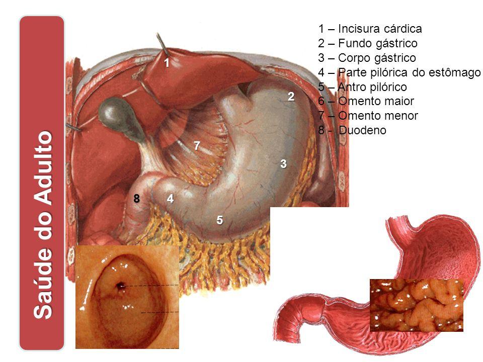 1 1 – Incisura cárdica 2 – Fundo gástrico 3 – Corpo gástrico 4 – Parte pilórica do estômago 5 – Antro pilórico 6 – Omento maior 7 – Omento menor 8 - D